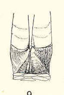 Image of <i>Verum proximum</i> (Pilsbry 1907)