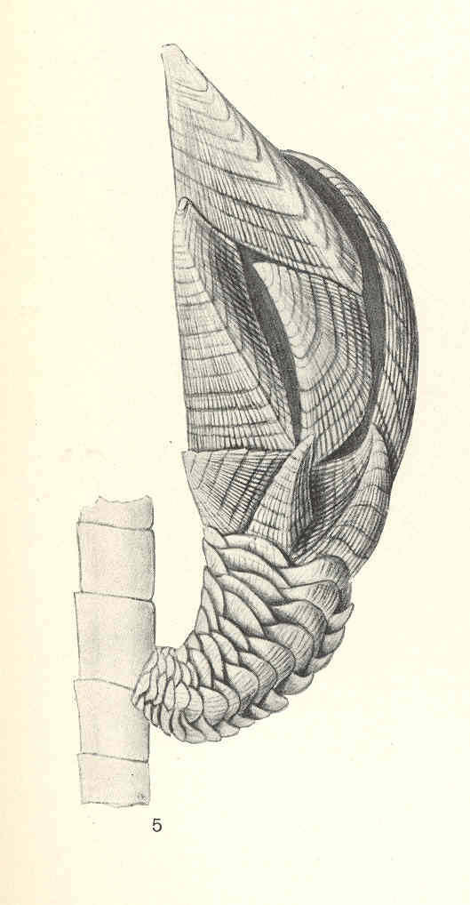 Image of <i>Trianguloscalpellum weltnerianum</i> (Pilsbry 1911)