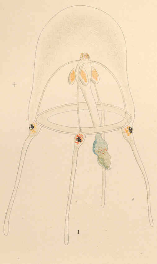 Image of Syncoryne R. Nielsen & P. M. Pedersen 1977