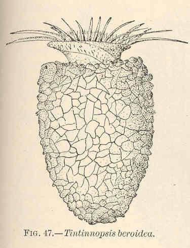 Image of <i>Tintinnopsis beroidea</i>
