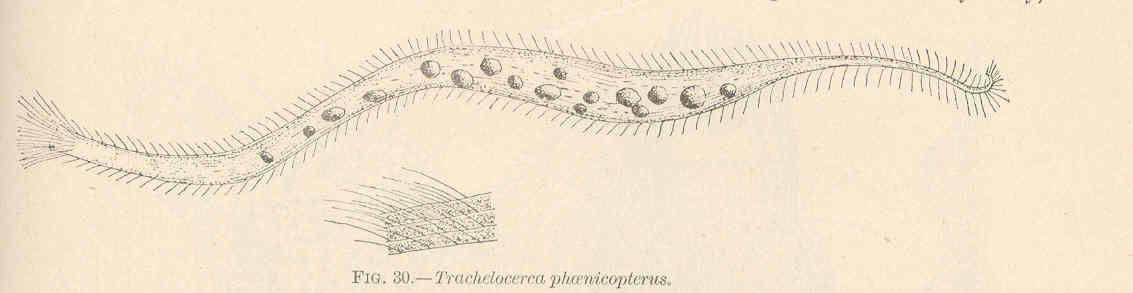 Image of <i>Trachelocerca phoenicopterus</i>