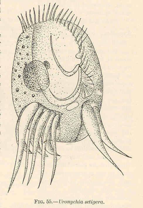 Image of <i>Uronychia setigera</i>