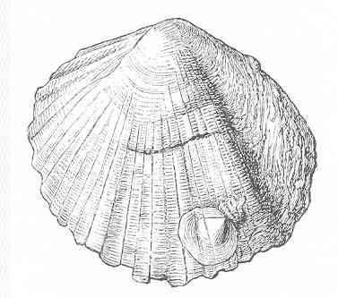 Слика од <i>Anomia ephippium</i> Linnaeus 1758
