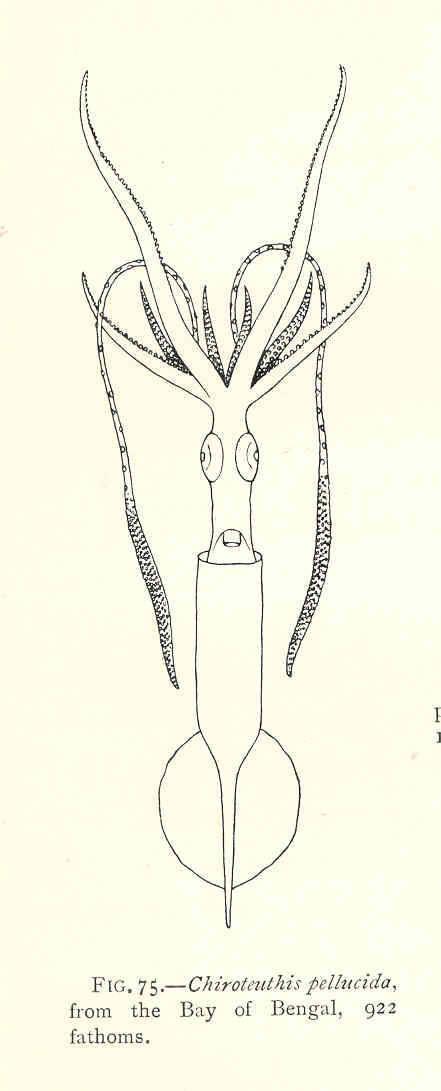 Image of <i>Chiroteuthis picteti</i> Joubin 1894