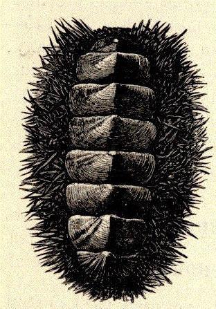 Image of <i>Acanthopleura spinosa</i> (Bruguiere 1792)