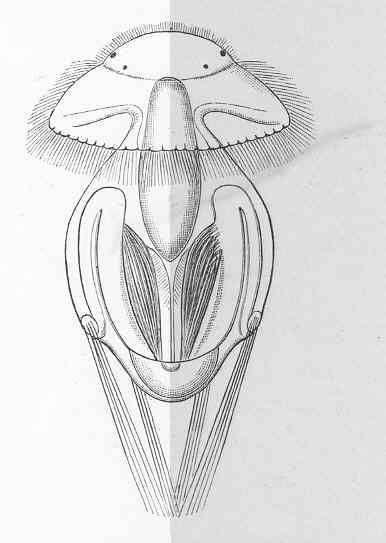 Image of Argyrotheca