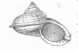 Image of Cyclostoma Sowerby 1847