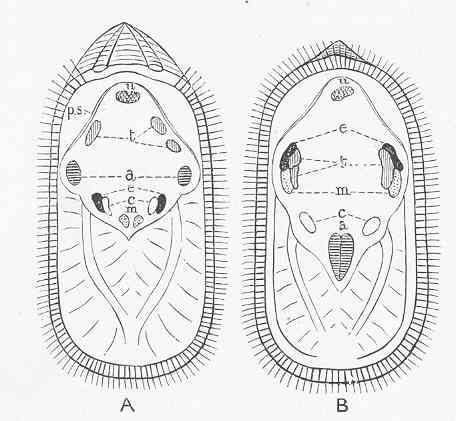 Image of common oriental lamp shell