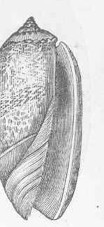 Image of <i>Oliva irisans</i> Lamarck 1811