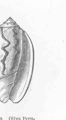 Image of <i>Oliva peruviana</i> Lamarck 1811
