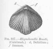 Image of Rhynchonella