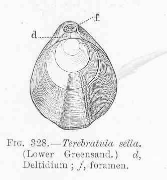 Image of Terebratula