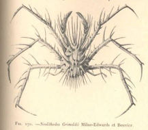 Image of Neolithodes