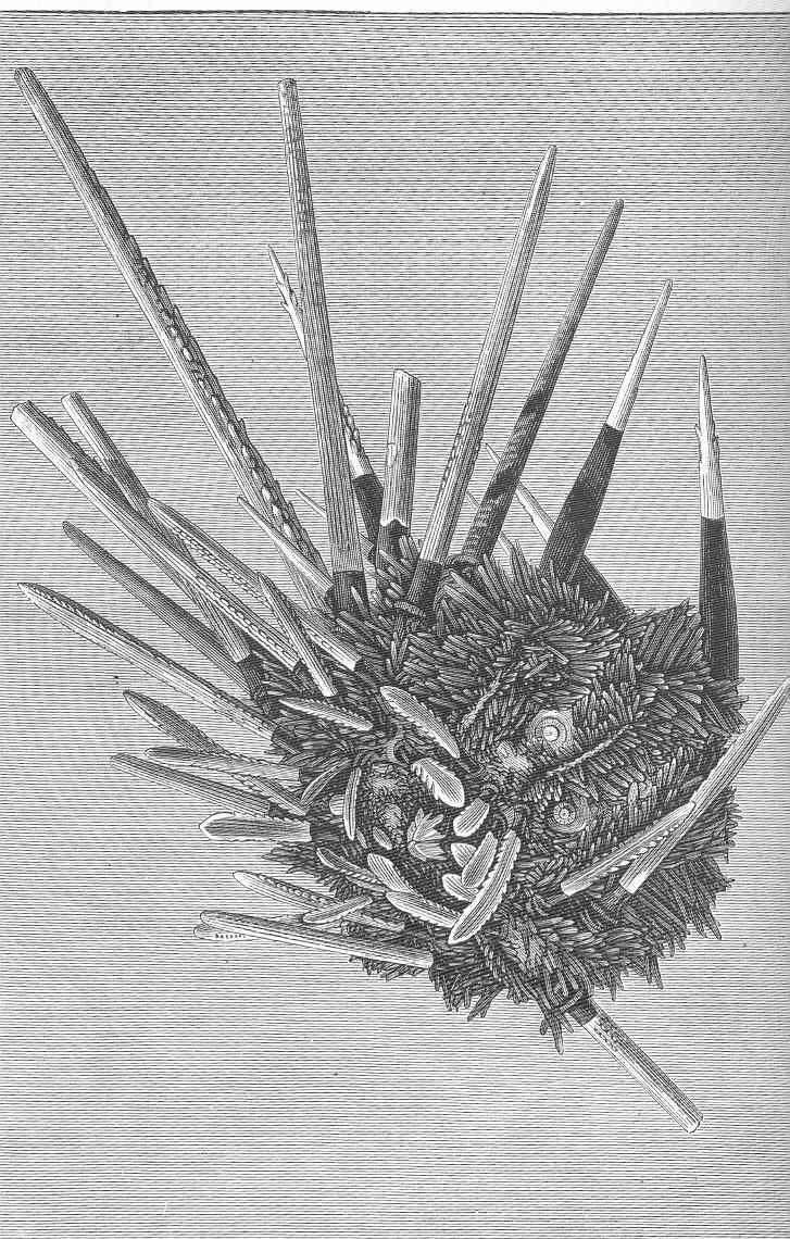 Image of <i>Histocidaris purpurata</i> (Thomson 1872)