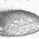Image of <i>Pourtalesia jeffreysi</i> Thomson 1873