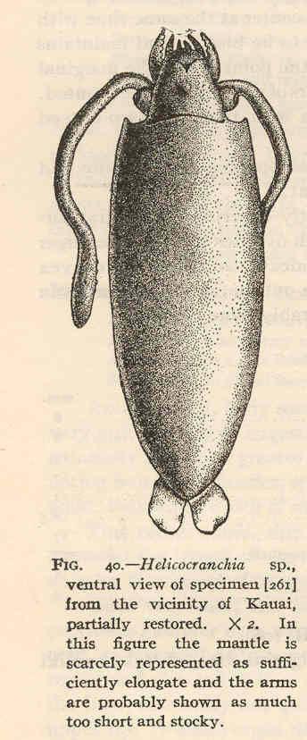 Image of Helicocranchia Massy 1907