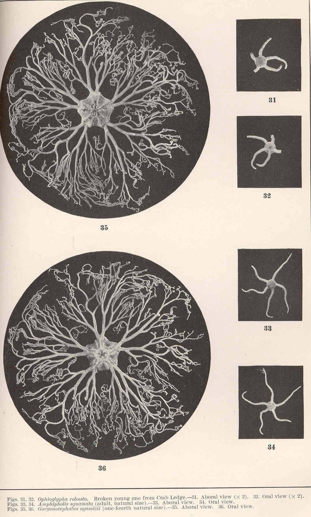 Image of <i>Ophiura robusta</i> (Ayres 1852)