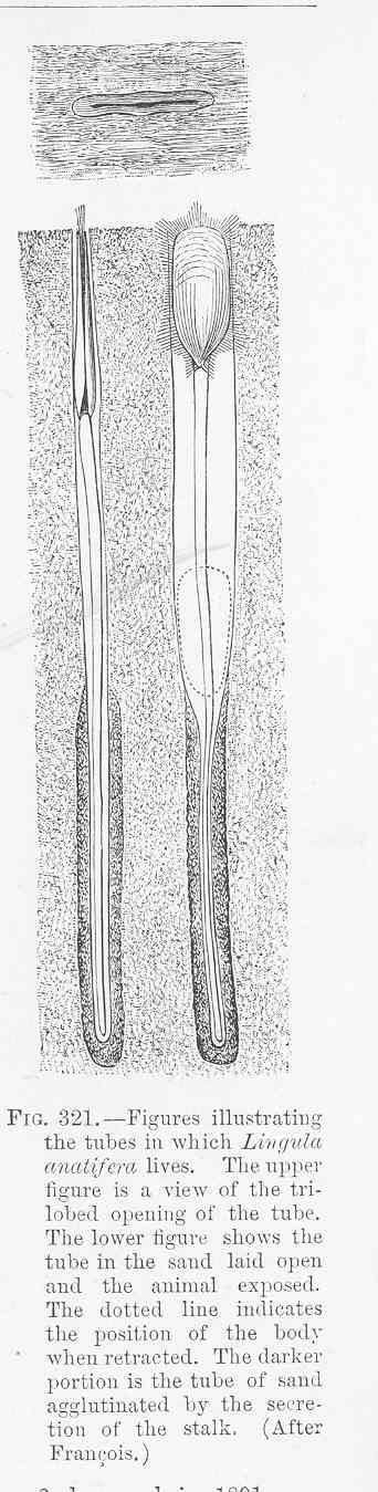 Image of Lingula