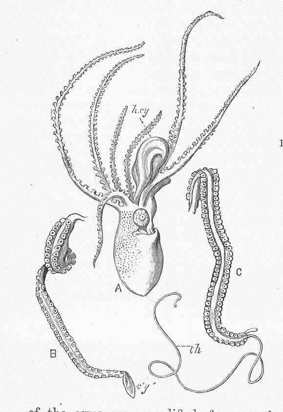 Image of tuberculate octopus
