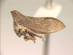 Image of Kurandella