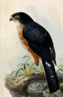 Image of Red-legged Sparrowhawk