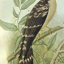 Image of <i>Pachycoccyx audeberti validus</i> (Reichenow 1879)