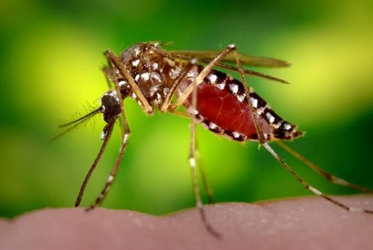 Image of Yellow fever mosquito