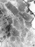 Image of Nodaviridae