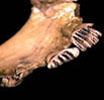 640.collections contributors anatomical images incisors jpeg cynocephalus thumbnail