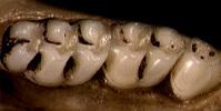 640.collections contributors anatomical images rodent molars sigmodontinae thumbnails akodon thb