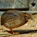 Image of Japanese Quail