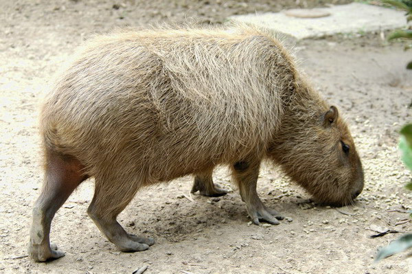 640.collections contributors david blank capybara1