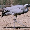 Image of demoiselle crane