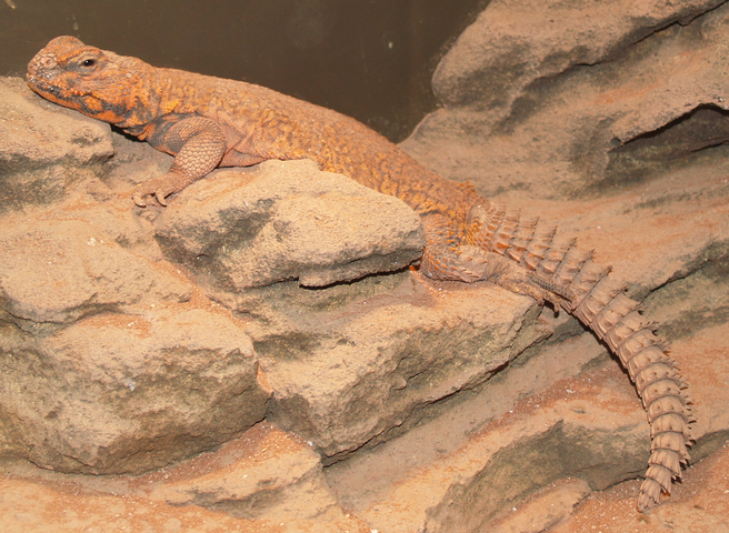 640.collections contributors james dowlinghealey uromastyx1