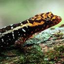 Image of Haseman's Gecko