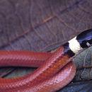 Image of <i>Phalotris concolor</i> Ferrarezzi 1993