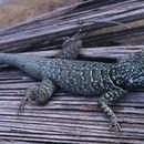Image of <i>Tropidurus oreadicus</i> Rodrigues 1987