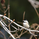 640.collections contributors phil myers adw birds 3 4 03 passeriformes paridae carolina chickadee3657.130x130
