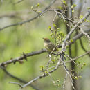 640.collections contributors phil myers adw birds 3 4 03 passeriformes parulidae palmwarbler1580.130x130