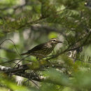 640.collections contributors phil myers adw birds 3 4 03 passeriformes parulidae waterthrush2873.130x130