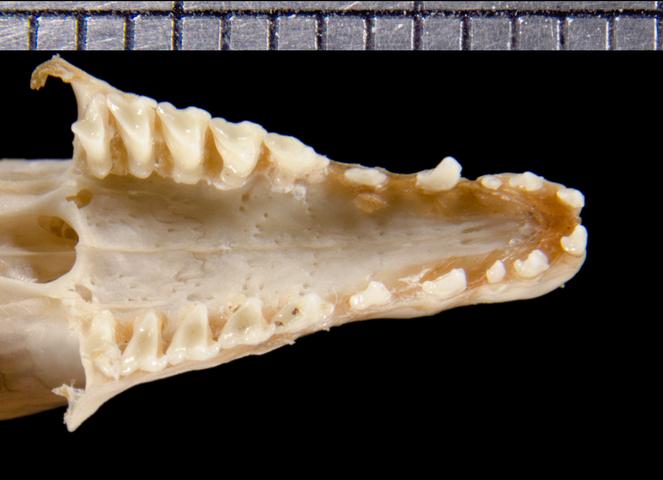 Image of Drouhard's Shrew Tenrec
