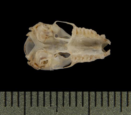 640.collections contributors phil myers adw mammals specimens chiroptera vespertilionidae miniopterus australis ventral5515