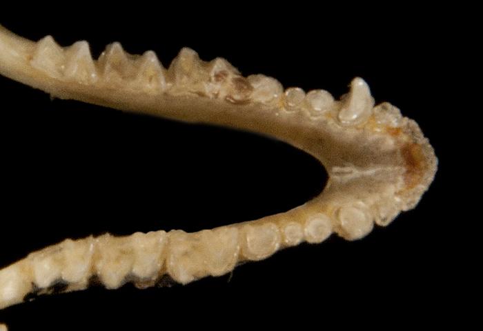 Image of Southeastern Myotis