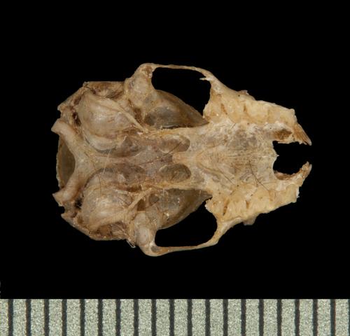 640.collections contributors phil myers adw mammals specimens chiroptera vespertilionidae2 philetor brachypterus ventral5870