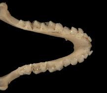 640.collections contributors phil myers adw mammals specimens chiroptera vespertilionidae2 pipistrellus tenuis ltr5940.260x190