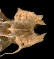 640.collections contributors phil myers adw mammals specimens chiroptera vespertilionidae2 pipistrellus tenuis mimus utr5931.260x190