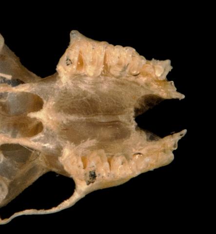 640.collections contributors phil myers adw mammals specimens chiroptera vespertilionidae2 pipistrellus tenuis mimus utr5931