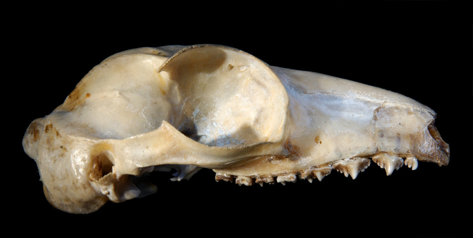 640.collections contributors phil myers adw mammals specimens dermoptera cynocephalus variegatus lateral9612
