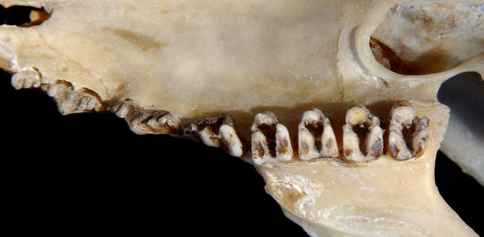 640.collections contributors phil myers adw mammals specimens dermoptera cynocephalus variegatus utr9614