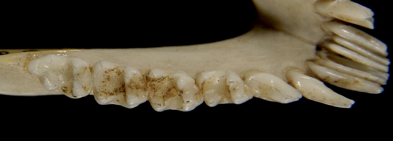640.collections contributors phil myers adw mammals specimens primates euoticus elegantulus ltr1859